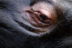 animals_hippo_eye