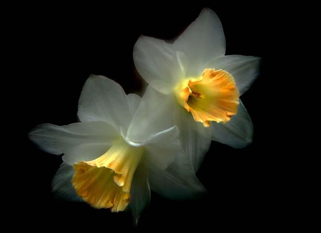 flowers_daffodils