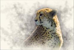 animals_cheetah