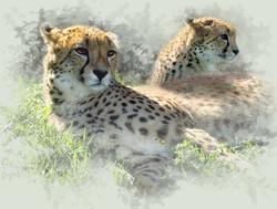 animals_cheetahs