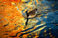animals_golden_and_blue_goose