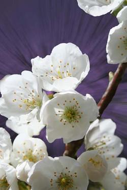 flowers_cherry_blossom_2_edited