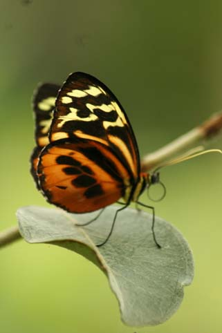 animals_orange_butterfly_1