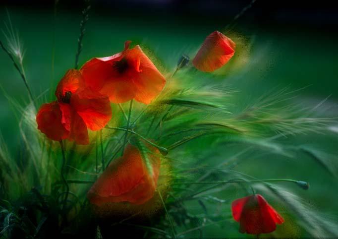 flowers_poppies