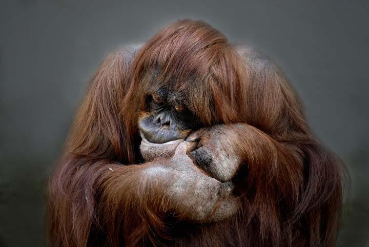 animals_orang_utan