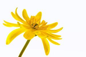buttercup-759684_640.jpg