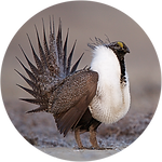 Sage_Grouse_Icon-01.png