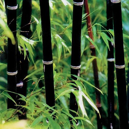 Dark bamboo stalks