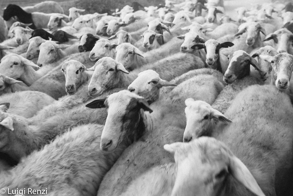 nucleika gregge di pecore