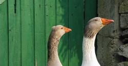 ducks - travel Israel with tova wald