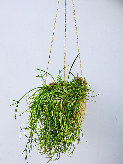 Rhipsalis Hanging Plant