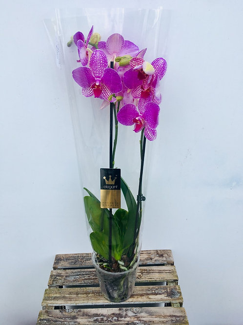 Tall Pink Orchid