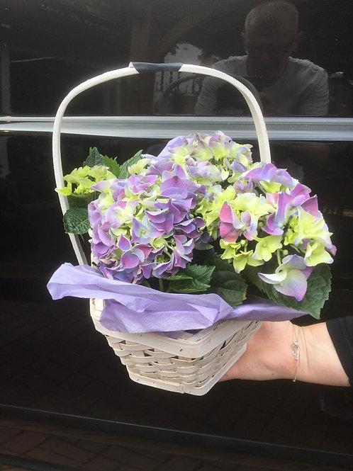 Purple & Green Hydrangea Basket