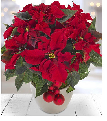 Pointsettia in a container