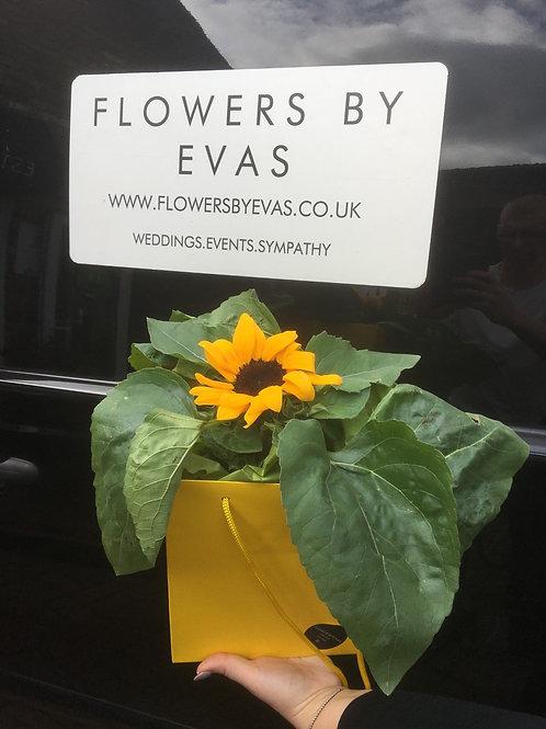 Sunflower Plant Gift Bag