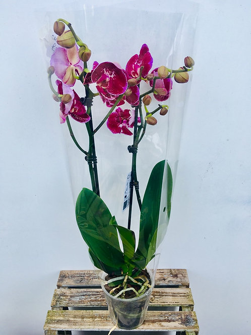Tall Pink & Purple Orchid