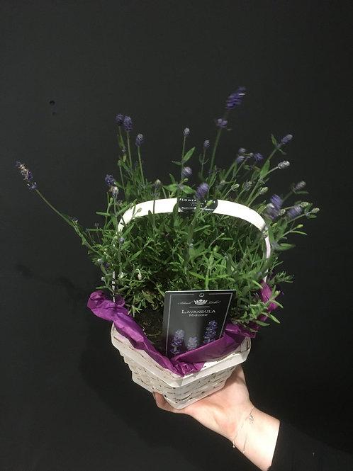 Lavender Plant in Basket
