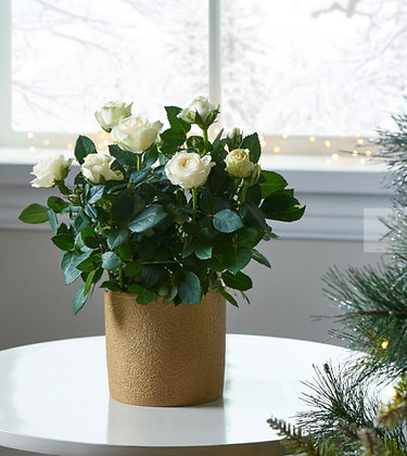 White rose planted pot