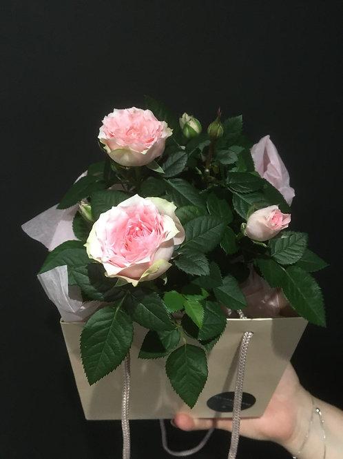 Pink Rose Plant Gift Box