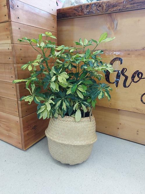 Schefflera Arboricol Trinette