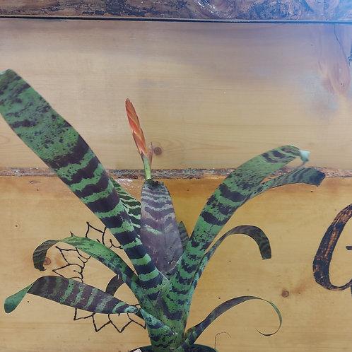 Bromeliad Flaming Sword