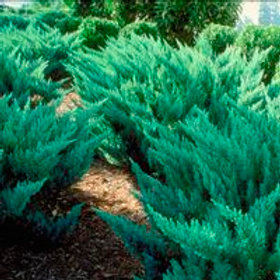 Blue Tamarix Juniper