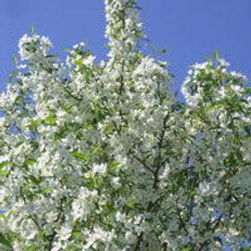 Starlite® Flowering Crabapple