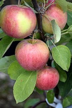 Dexter Jackson Apple