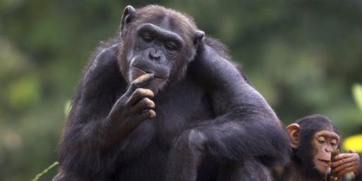 Por que os seres humanos - e não os chimpanzés - foram capazes de criar uma civilização complexa