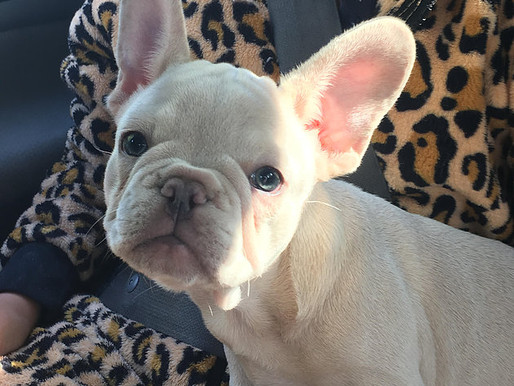Such a great looking Frenchie