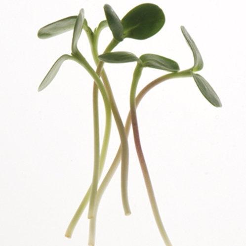 Sunflower micro green