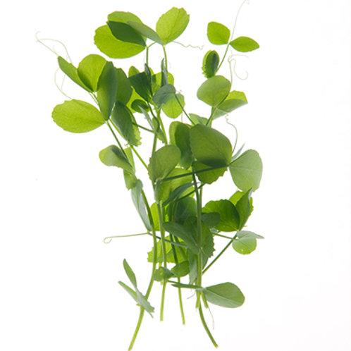 Pea Shoots micro green