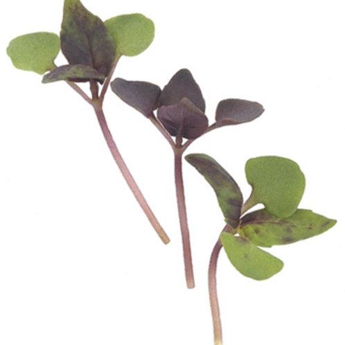 Basil micro green