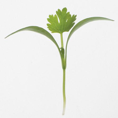 Cilantro micro green
