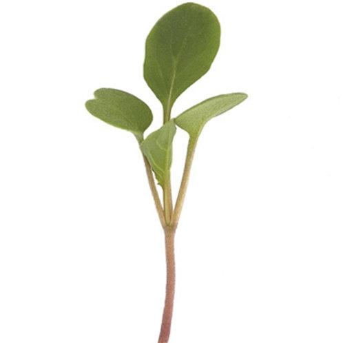 Arugala micro green
