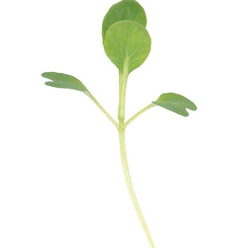 Tatsoi micro green