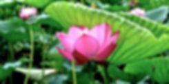 saitama-ancient-lotus-pond-in-gyoda-city