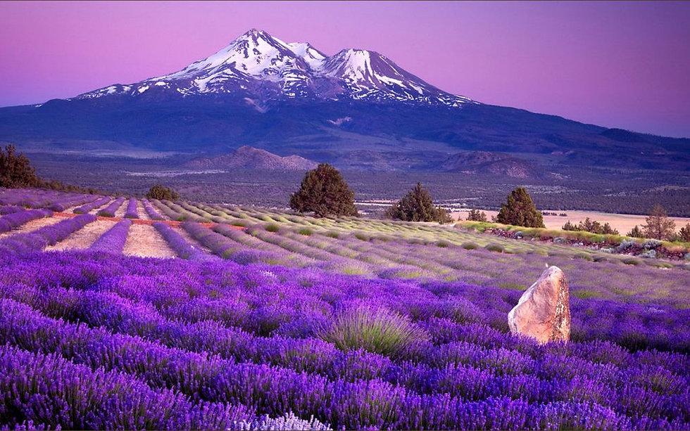 Lavender-fields.jpg