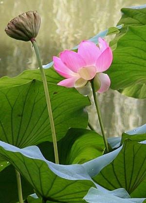 300px-Japanese_Garden,_Lotusland.jpg