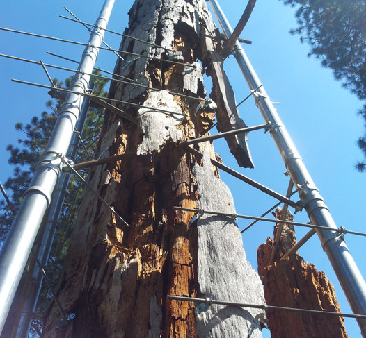 Ponderosa pine with decaying fragments held in place.
