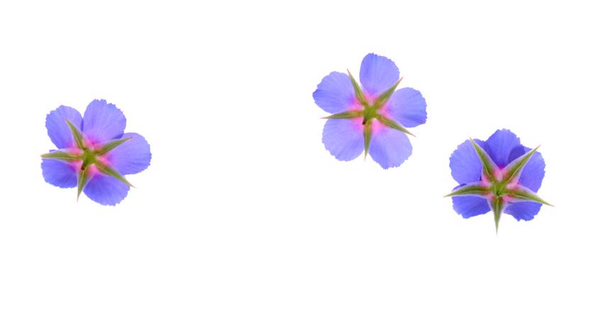 Blue Pimpernel/Anagallis monelli (Israel Native)