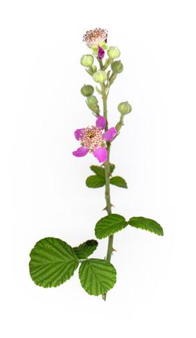 Rubus sanguineus