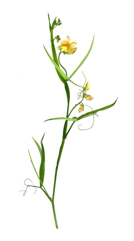 Lathyrus gorgoneiטופח ארך העמוד