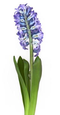 Blue Hycinth