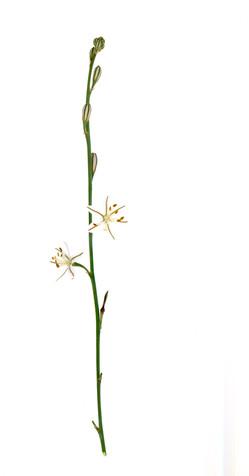 Asphodelus tenuifolius(?)