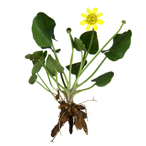 Ranunculus ficaria (Israel Native)