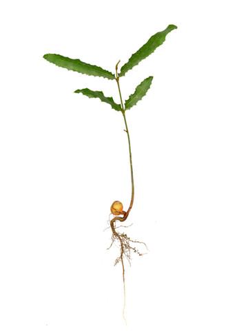Baby Makademia Tree