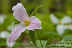 Awenda Pink Trillium