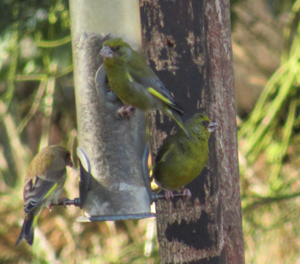 Greenfinches at feeder