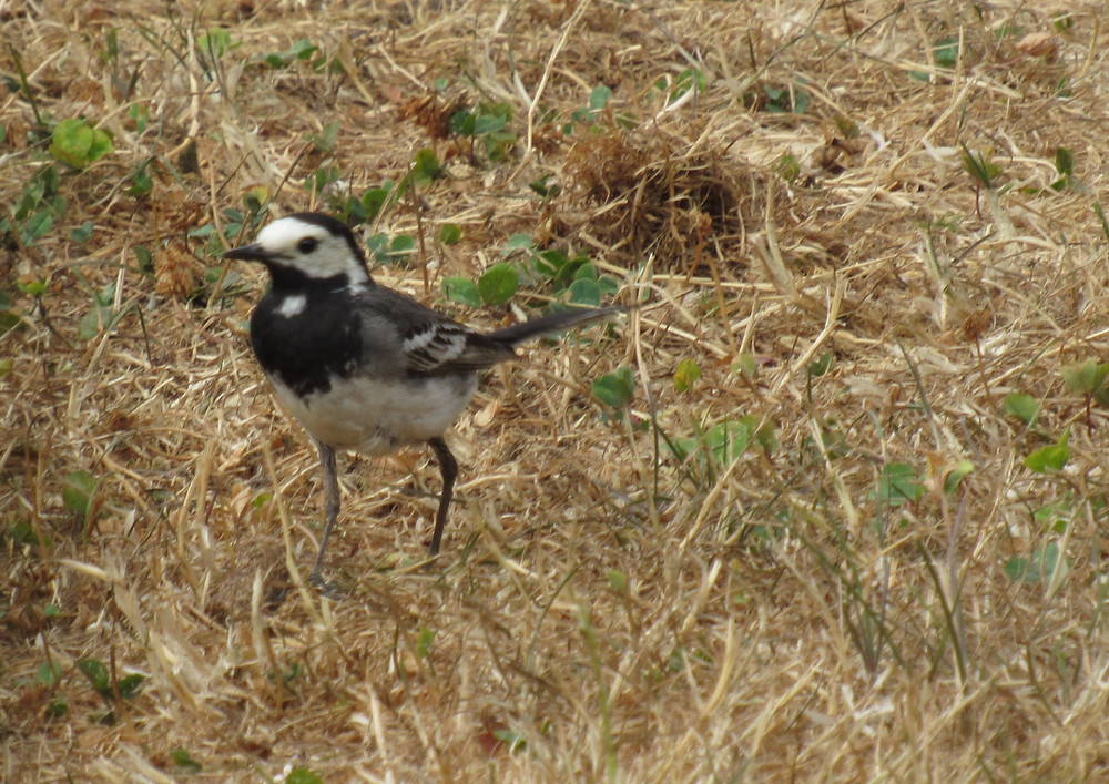 White or PIed Wagtail